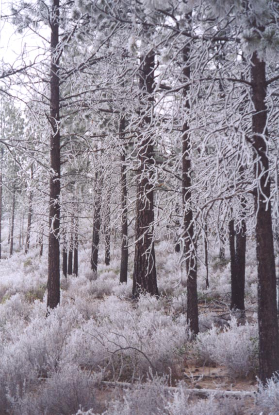 WINTER FOREST UTAH AND OREGON